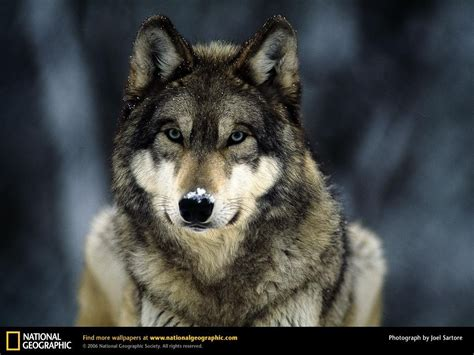 wolf s grey wolf in the snow wolves wallpaper 4966029 fanpop
