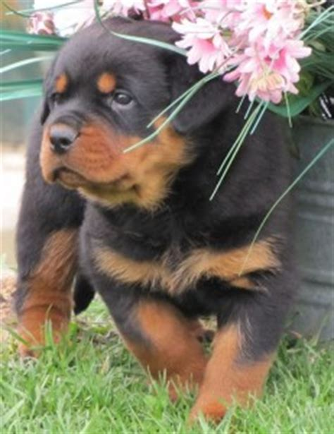 teacup rottweiler neapolitan mastiff rottweiler mix book covers