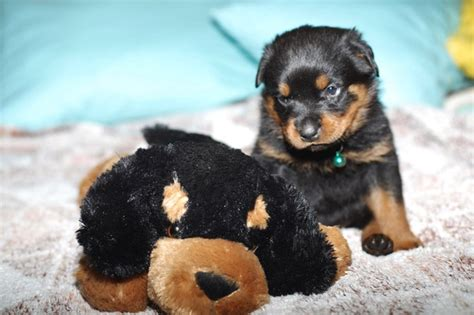 small rottweiler jpg breeds picture