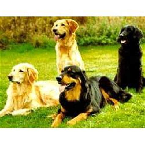 hovawart puppies for sale hovawart puppies for sale from reputable breeders