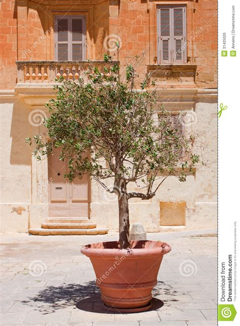 Townhouse Design Plans olive tree in terracotta pot royalty free stock image