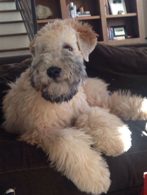 Terrier Shed by Maggie Soft Coated Wheaten Terrier Dogs I
