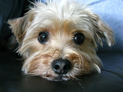 all about dogs morkie designer information all about dogs