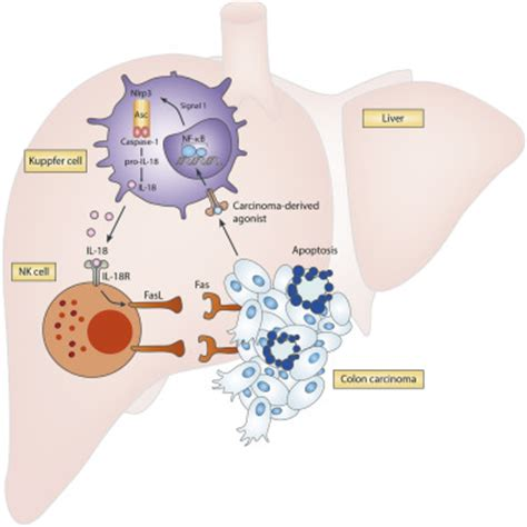 t protein liver the nlrp3 inflammasome suppresses colorectal cancer