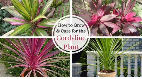 cordyline growing  caring   hawaiian ti plant