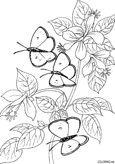 leaf identification coloring pages coloring page butterfly and leaf coloring me
