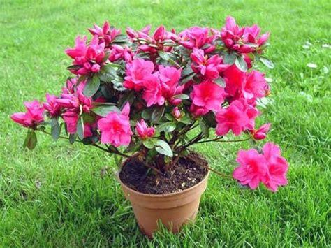 rododendro in vaso rhododendron indicum o azalea cuidados