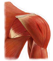 gallery for gt torn deltoid muscle