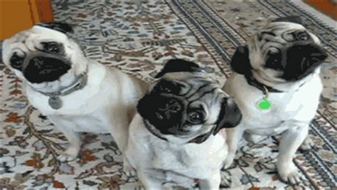 pug animated gif pug gif find on giphy