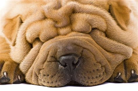 with wrinkled dogs with wrinkled faces cuteness