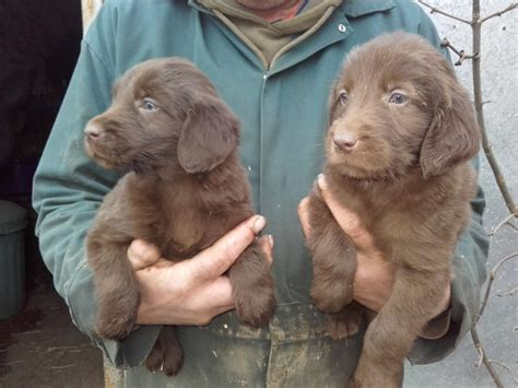 flat coat retriever puppies for sale flat coat retriever puppies yeovil somerset pets4homes
