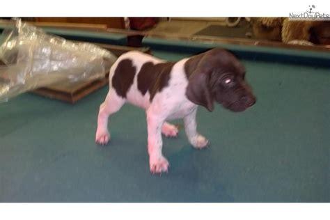 german shorthaired pointer puppies ohio german shorthaired pointer puppy for sale near columbus ohio 3d9d53ac 7e71