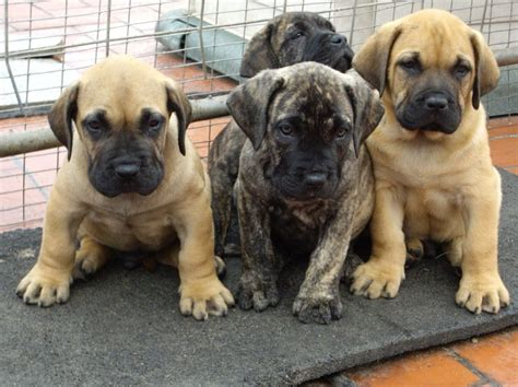 presa canario puppies for sale in dogue de bordeaux x presa canario puppies for sale ely cambridgeshire pets4homes