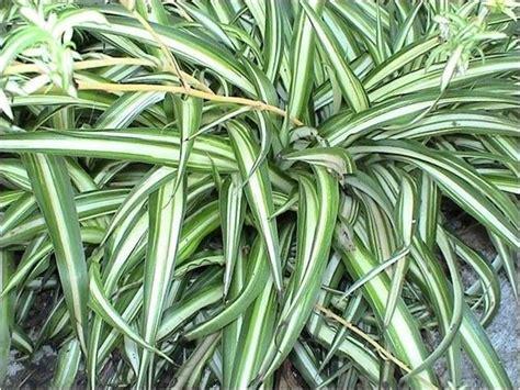 piante vaso piante sempreverdi da vaso piante da terrazzo piante