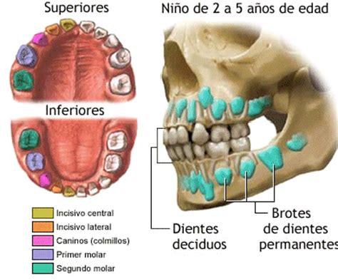 imagenes dientes temporales calcificaci 243 n dentaria