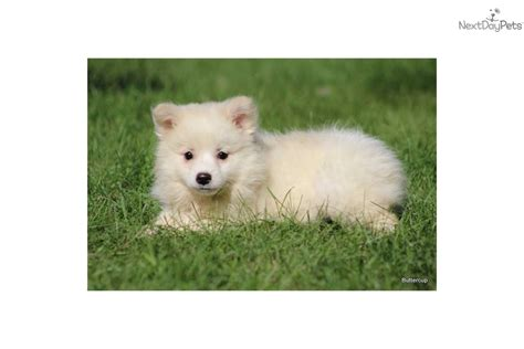 buttercup puppies meet buttercup a american eskimo puppy for sale for 425 buttercup