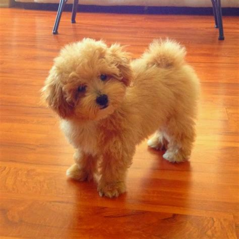 Poochon Haircuts | poochon haircuts poochon things i would love to have
