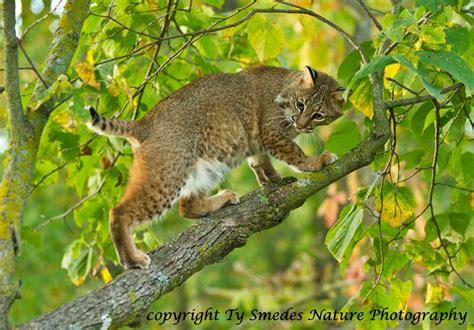 in tree bobcat in tree
