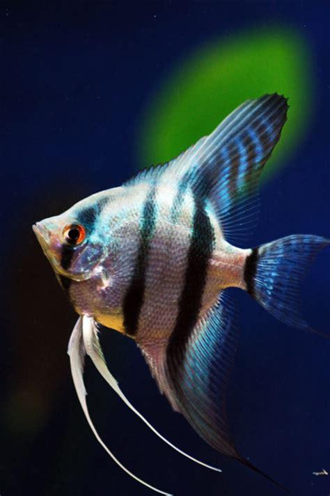 Pakan Ikan Gurame Hias ikan hias mengenal manfish fish pterophyllum