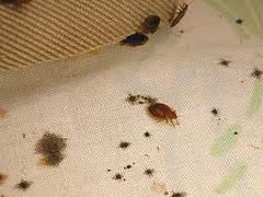 bed bugs detection bed bug detection bed bug treatment site