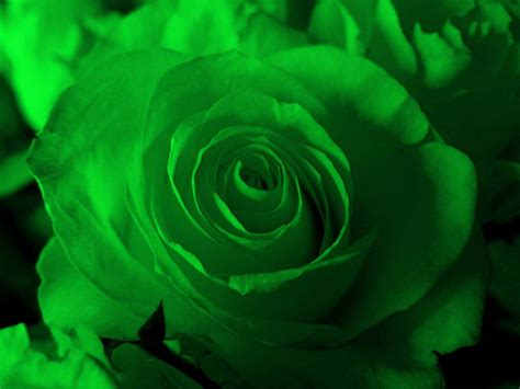 flower wallpaper green rose 40 refreshing green backgrounds