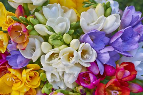 Mother S Day Flower by Freesia Flower Meaning Flower Meaning