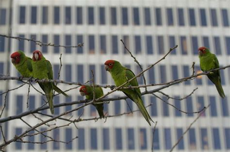Parrots Of Telegraph Hill file parrots of telegraph hill jpg wikimedia commons