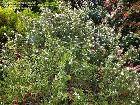 shrub with white flowers identification plant identification closed shrub with white like