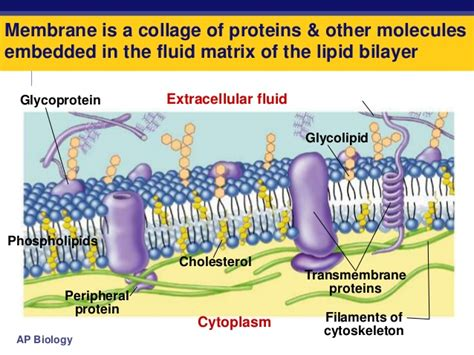 6 proteins in cell membrane stpm form 6 biology cell membrane