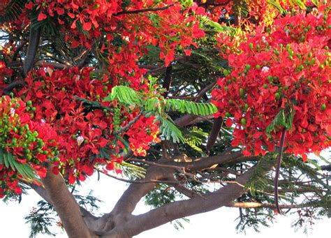 poinsiana tree decorations tuesday in townsville poinciana flowers and a happy new year budget travel talkbudget travel