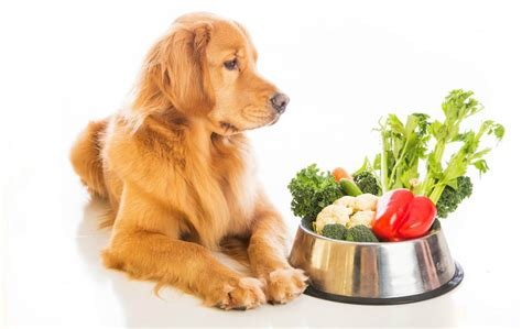 can dogs be vegetarian can your be vegetarian or vegan vetdepot
