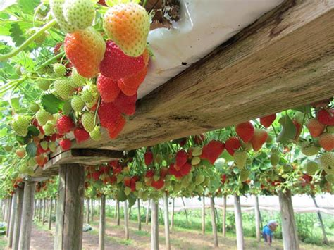 8 fruits amp vegetables you can grow in hanging baskets