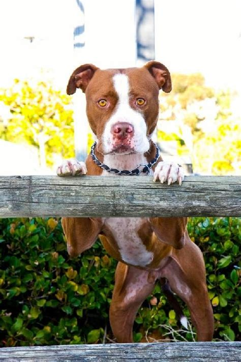 Pit Bull Terrier Shedding by 21 Best Images About Nose Pits On American