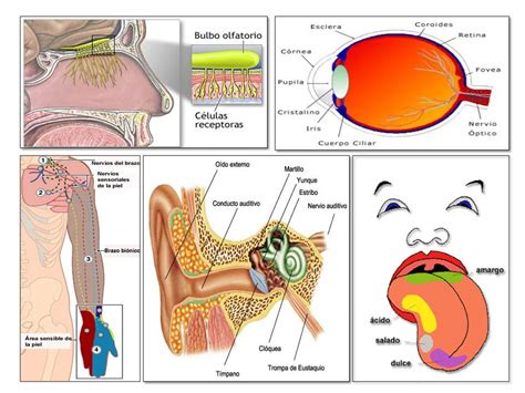 imagenes de organos sensoriales los receptores sensoriales