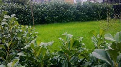 Kirschlorbeer Wann Pflanzen 3780 by Kirschlorbeer Wann Pflanzen Wann Kirschlorbeer Schneiden