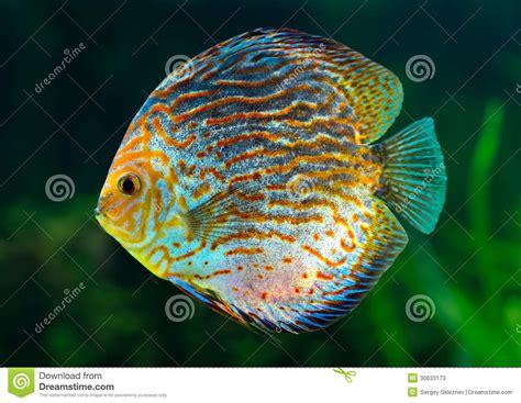 discus tropical decorative fish stock  image