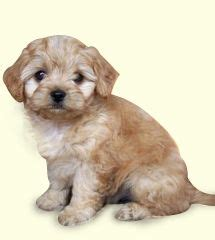 cavapoo puppies for sale in ny oltre 1000 idee su cavapoo puppies for sale su orsacchiotto cuccioli