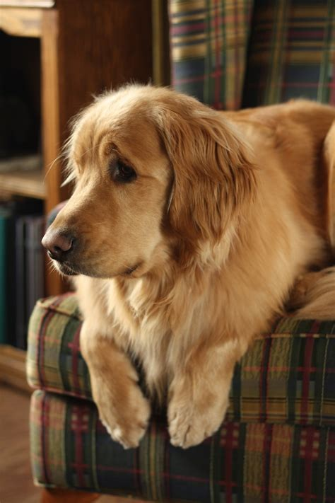 golden retriever eyebrows 17 best ideas about eyebrows on eyebrows baby dogs and