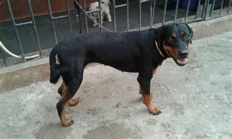 cheap rottweiler puppies rottweiler for sale at cheap price pets nigeria