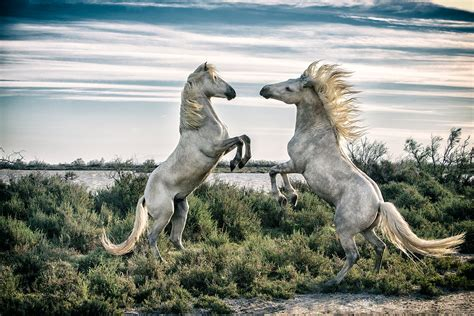 painting workshop horses the white horses of the camargue 2016