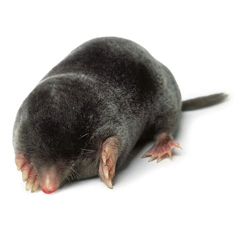 Kid Mol mole facts for where do moles live dk find out