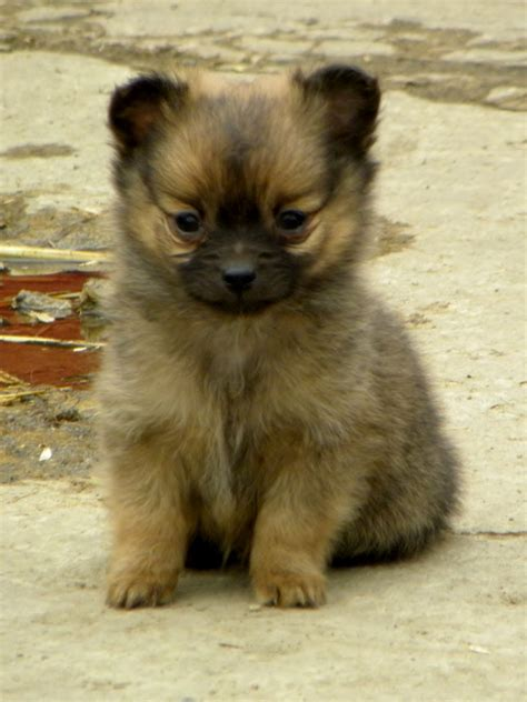 chihuahua pomeranian puppies pomeranian chihuahua mix breed photos all mutt kootationcom breeds picture