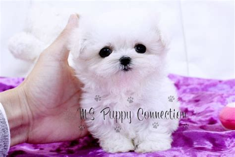teacup pomeranian breeders ny new york teacup puppies for sale maltese puppies new york
