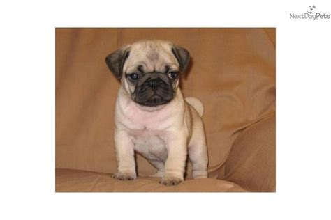 akc pug puppies akc pug quot odie quot pug puppy for sale near southeast missouri missouri d19f07a0 c471