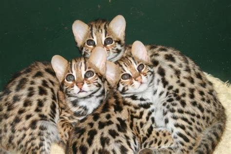 leopard kittens   amazing creatures   earth