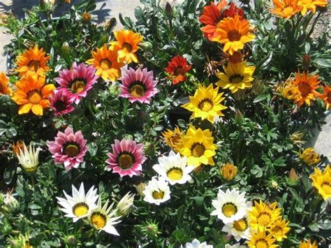 gazania fiore gazania piante annuali