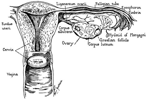 Iud After C Section by Volume 1 Chapter 2 Clinical Anatomy Of The Uterus