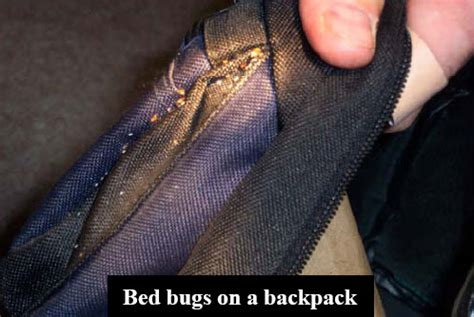 biggest bed bug what are bed bugs learn about bed bugs from the largest