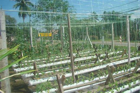 Benih Kacang Panjang Matahari cara menanam kacang panjang hidroponik bibitbunga