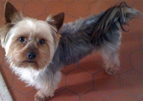 yorkie swollen signs that your yorkie is ready to breed